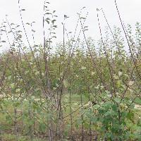Verger conservatoire prunes et mirabelles de lorraine actualits mne - Taille des pruniers mirabelles ...